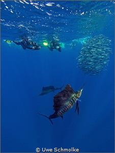 Sailfish on the hunt by Uwe Schmolke